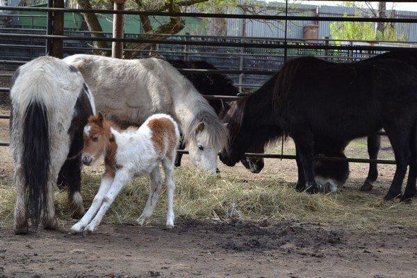 Najnovšie mláďa. Pony shetlandský sa narodil minulý týždeň.
