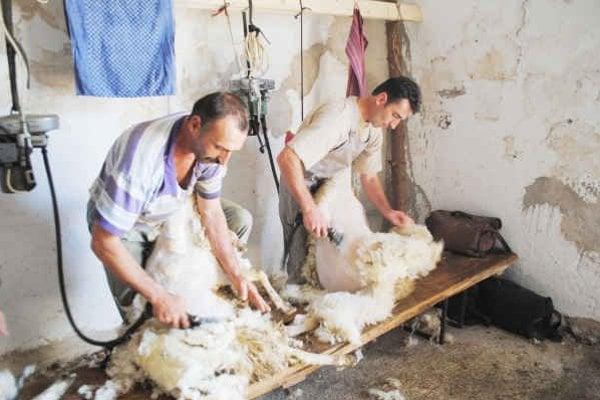 Bratia Zakuciovci. Strihanie oviec je rodinnou záležitosťou.