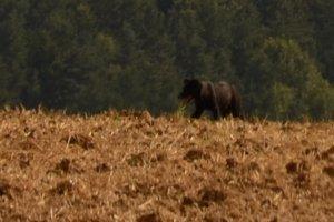Viktória bola duchaprítomná a odfotila medveďa na poli pri Bystranoch.