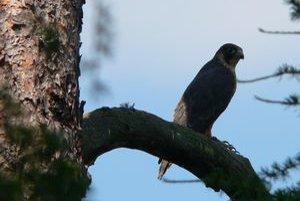 Sokol sťahovavý. V národnom parku v súčasnosti hniezdia tri páry tohto chráneného operenca.