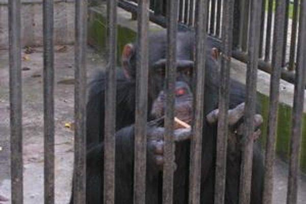 Šimpanz Jupi bol obľúbený najmä u detí.