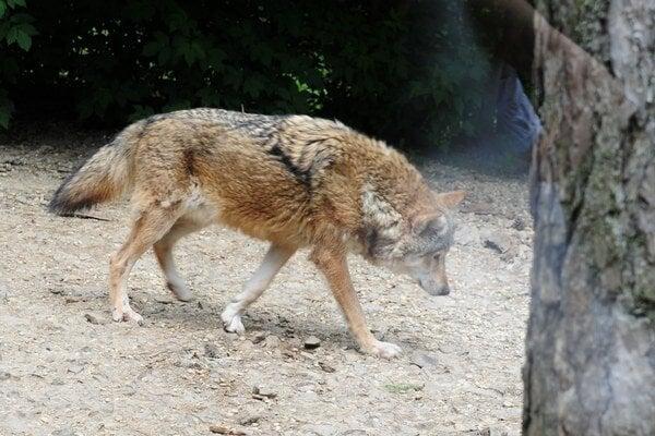 Vlci. V Tatrách je ich čoraz menej.