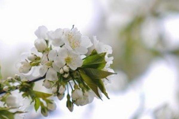 Na prvého mája by nemal chýbať bozk pod rozkvitnutou čerešňou.