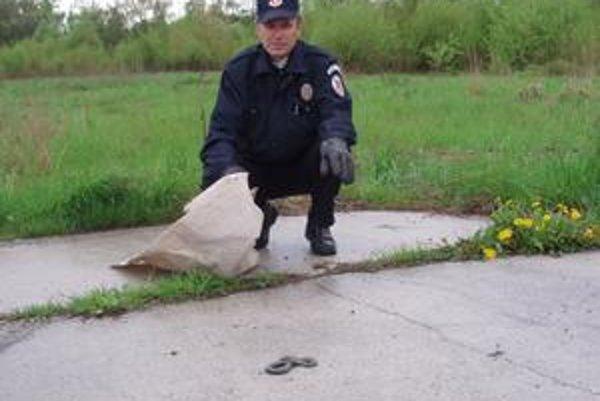 Obecní policajti. Môžu sa pochváliť pekným úlovkom. Pomocou metly a lopaty odchytili jedovatú vretenicu, aby nikomu neublížila.
