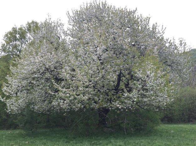 Majestátna čerešňa rastie za Lehotou pod Vtáčnikom smerom na Sekaniny.