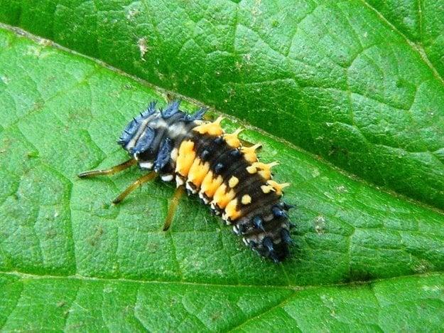 Larva lienky východnej
