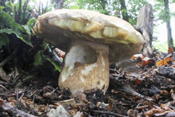 Hubári našli počas prvého júnového víkendu neďaleko Malinovej aj hríb sosnový.