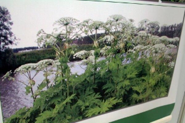 K inváznym rastlinám patrí aj boľševník.