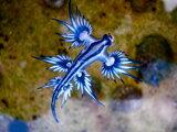 Morský slimák Glaucus atlanticus, známy aj ako modrý drak.