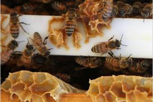 Včelia kolónia. Zabíjajú ich pleseň a vírus.