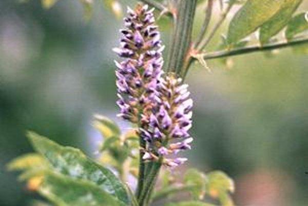 Glycyrrhiza glabra - Sladkovka hladkoplodá.