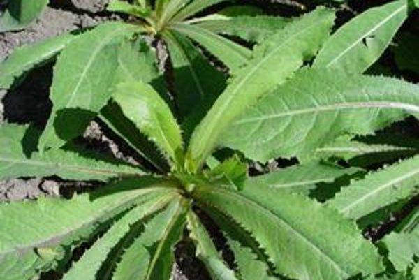 Lactuca virosa - Šalát jedovatý.