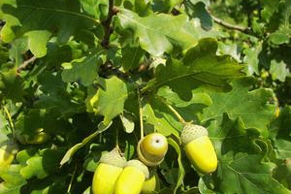 Quercus robur - dub letný.
