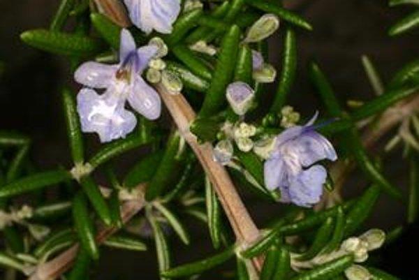 Rosmarinus officinalis. Rozmarín lekársky.