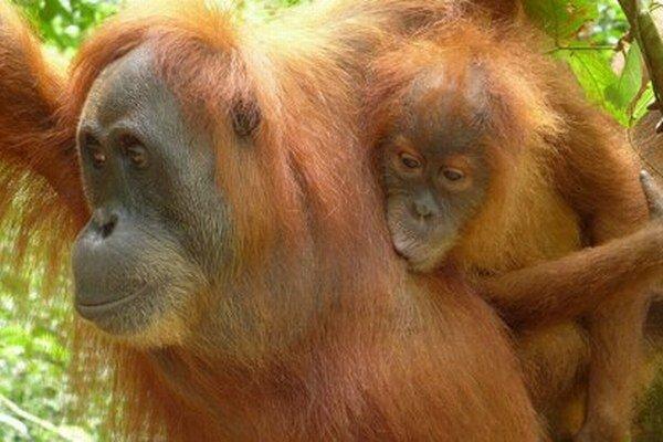 Orangutany na Sumatre ohrozuje palmový priemysel aj vytváranie závislosti na človeku.