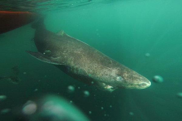 Žralok grónsky.
