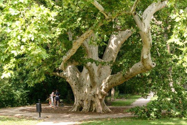 Platan z Komjatíc sa stal Stromom roka v roku 2012.