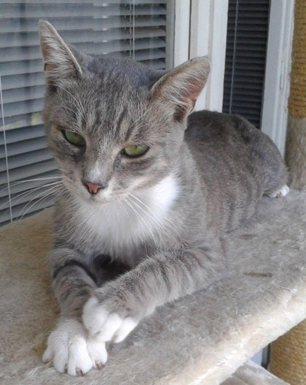 Tehotná žena môže od mačky chytiť toxoplazmózu, ktorá sa prenáša.