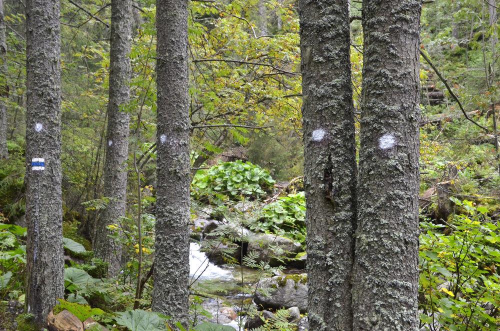 Pohľad na označené stromy zasiahnuté lykožrútom v Bielovodskej doline. Snímka je z 30.augusta 2016