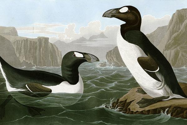 Alky veľké na obraze Johna James Audubona.
