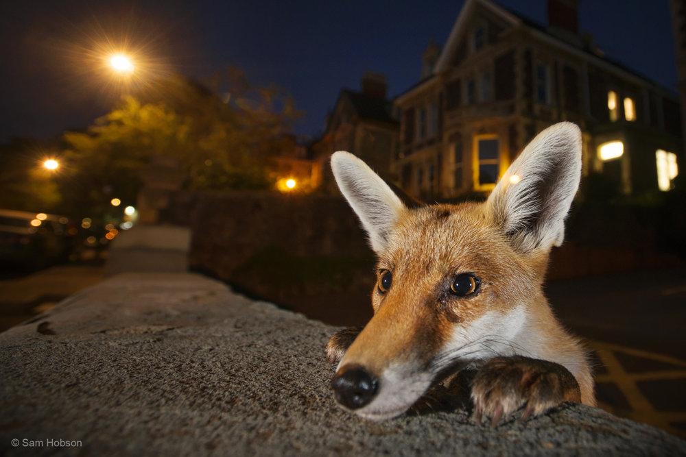 Zvedavý sused. Sam Hobson niekoľko týždňov sledoval a spoznával rodinu líšok červených (Vulpes vulpes) v anglickom Bristole. Nakoniec sa mu podarilo zachytiť toto zvedavé mláďa.