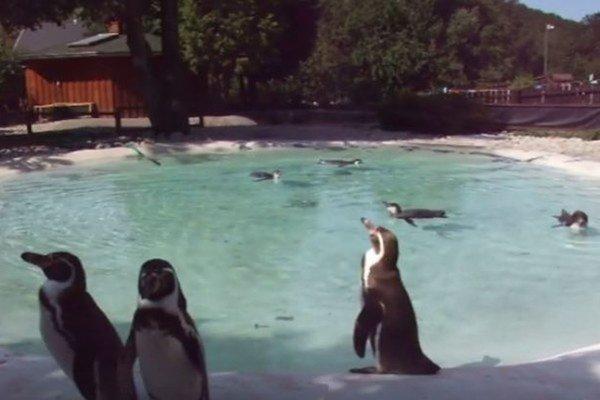 Tučniaky. Patria k najväčším lákadlám.
