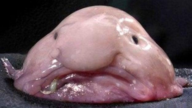 Ryba Blobfish / Psychrolutes marcidus