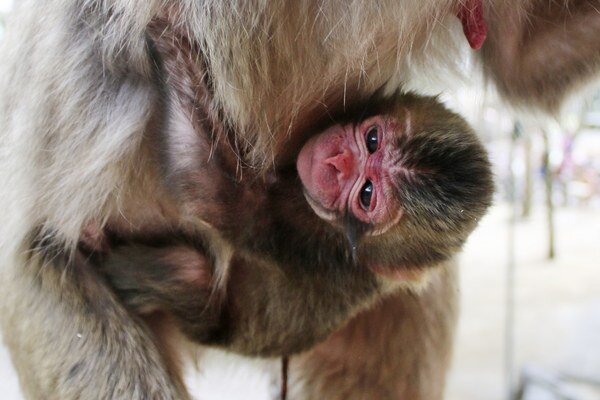 Novonarodený makak dostal meno Charlotte.