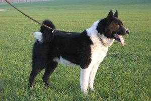 Ochranári veria, že karelský medvedí pes sa osvedčí.