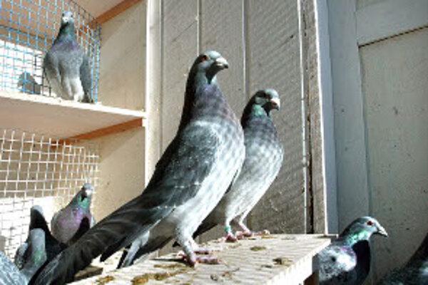 V Nitrianskom Rudne bude výstava holubov, králikov a hydiny.