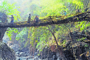 Živé koreňové mosty