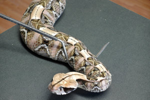 Jedovatý biznis - Peter Motus, chovateľ hadov
