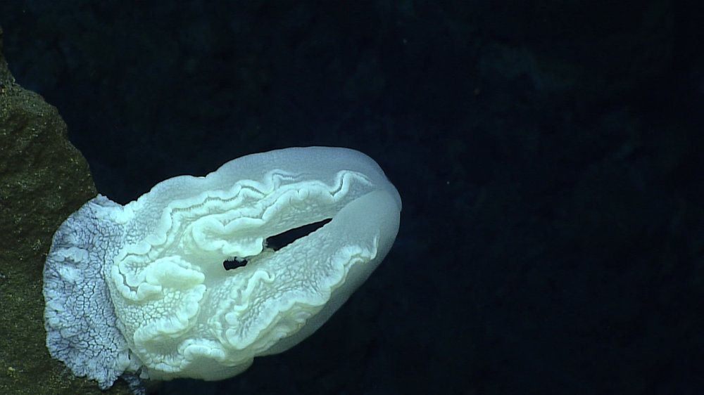 Medúza na podmorskej hore Mariánskej priekopy.