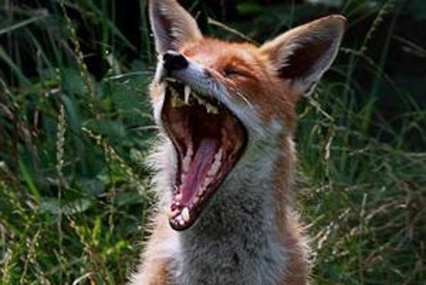 Slovenskí poľovníci strieľajú líšky v tisícoch, ich premnoženiu aj tak nedokážu zabrániť.