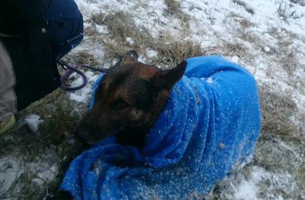 Podchladeného nemeckého ovčiaka previezli na ošetrenie na kliniku do Nitry.