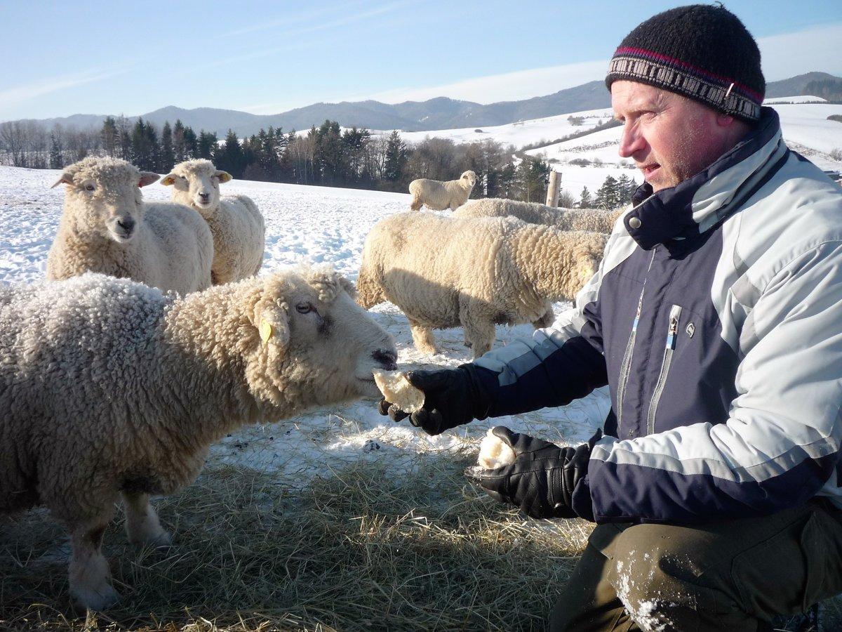 cdc0283d937 Farmár Tibor Martoník dokrmuje počas extrémne nízkych teplôt svoje Kentky  suchými rožkami.