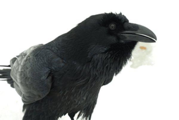 Čierny krkavec vie zakričať na psa či zahnať kone.