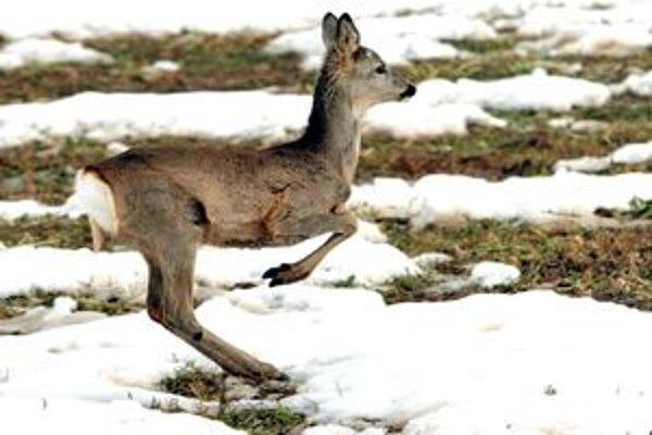 Lesná zver je na poliach s oziminou nevítaným hosťom.