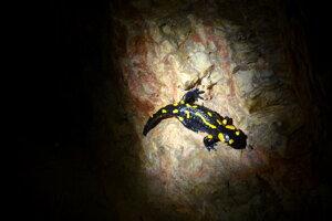 Obojživelníky už cítia príchod jari. Salamandry sa prebúdzajú avyliezajú zúkrytov.