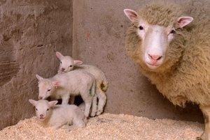 Dolly so svojimi mláďatami. Dokopy ich porodila šesť.