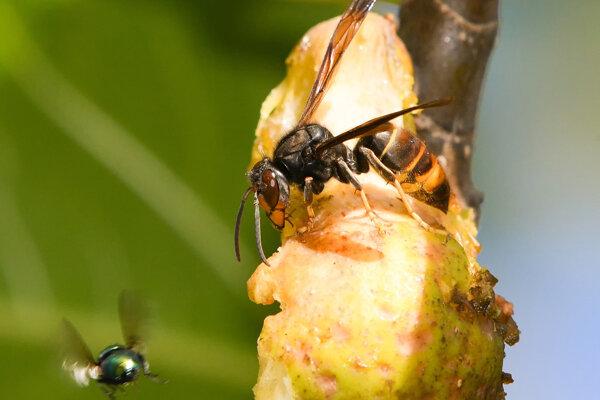 Osa vyháňa včelu medonosnú z prirodzeného prostredia (ilustračné foto).