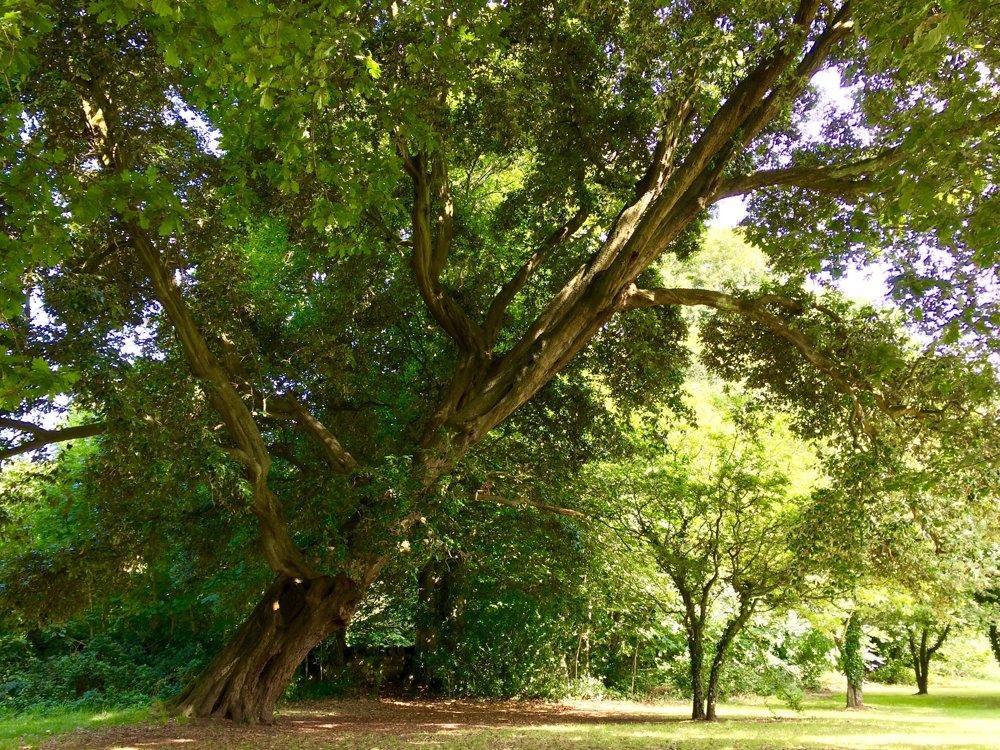 Dub Starý Homér, Severné Írsko, Spojené kráľovstvo, vyše 200 rokov. Som dvestoročný nahnutý dub cezmínový, rastiem pri rieke Fairy Glen v Rostrevore. A teraz potrebujem podporu. Milovali ma generácie miestnych obyvateľov, mnohé desaťročia moje stále zelené listy inšpirovali umelcov, spisovateľov a hudobníkov. Charles Dickens, C. S. Lewis a kráľovná Alžbeta, keď bola ešte princeznou, chodievali popod moje konáre. Stovky detí sa hojdali na mojich konároch a liezli po mojom kmeni, ktorý tak pripomína kožu draka. Z nás všetkých sa stali priatelia. Počujem vaše hlasy: ja sa naťahujem za svetlom a vy sa dotýkate mojej duše.