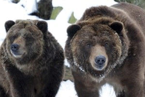 Niektoré medvede hnedé už nespia, túlajú sa po lese.
