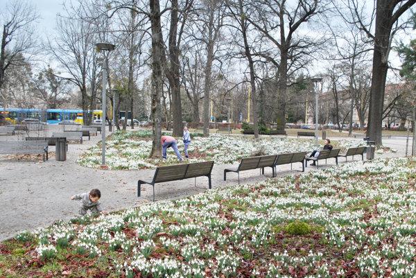 Tisíce snežienok v parku.