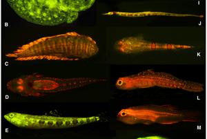 Fluoreskujúce morské ryby.