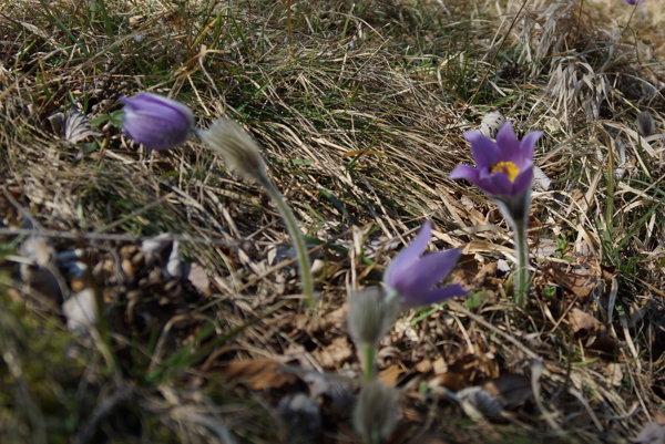 Zo suchej trávy vytŕčajú fialové horské kvietky.