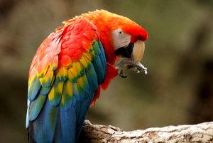 Papagáj Ara arakanga.
