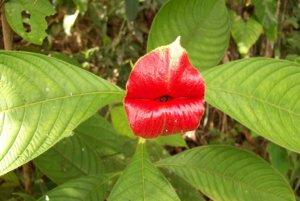 Orchidea psychotria elata si tiež vyvinula svoj špeciálny tvar aby prilákala opeľovačov - najmä kolibríky a motýle. Vďaka jej tvaru a farbe ju volajú aj prostitútkine pery (Hooker's Lips). Rastlina takto vyzerá len krátky čas, potom sa rozvinie do plného kvetu.