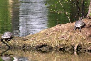 Vypustenie týchto korytnačiek do voľnej prírody zakazuje zákon.