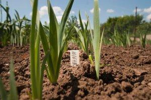 Po vysievaní semien po prvé zakvitnutie ubehnú dva roky. Tak dlho musí šľachtiteľ čakať na výsledok kríženia.
